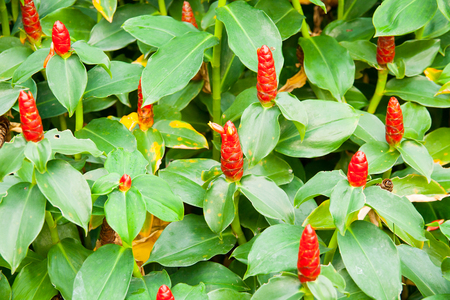 red costus or spiral gingers growing in the garden, horizontal formation