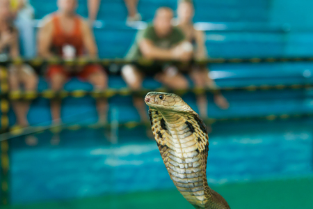 Pattaya, Thailand - December 01, 2018: Cobra is during Snake Show