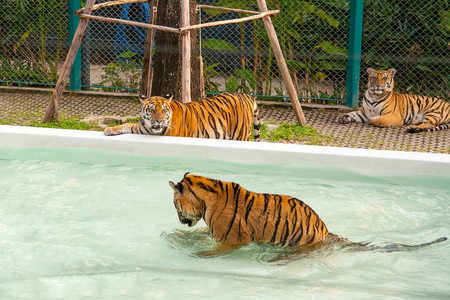 Pattaya, Thailand - December 01, 2018: Tiger Park. Tiger swimming in the pool