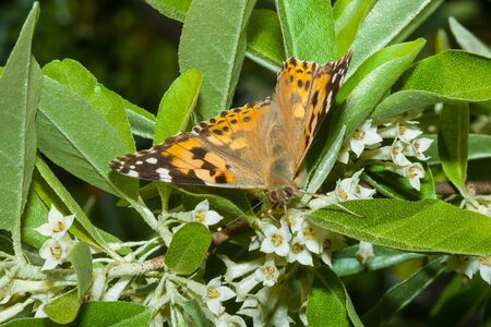 Butterfly Vanessa cardui (Linnaeus, 1758) is on a branch of a blooming Elaeagnus umbellata.