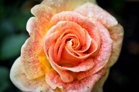 orange rose: Pink rose with waterdrops close-up