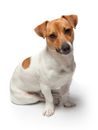 jack russell: Dogs puppy studio shot. Isolated on white background. Jack Russell Terrier Stock Photo