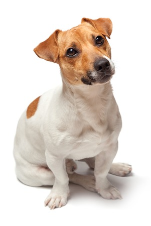 Dogs puppy studio shot. Isolated on white background. Jack Russell Terrier Stock Photo