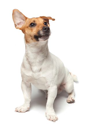 comely: Dogs puppy studio shot. Isolated on white background. Jack Russell Terrier Stock Photo