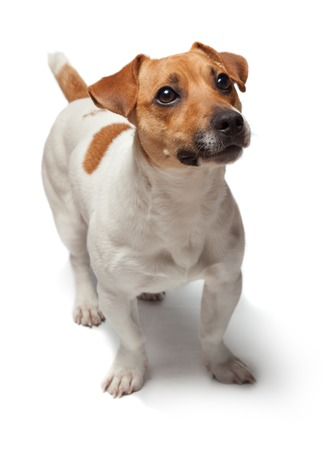 bonny: Dogs puppy studio shot. Isolated on white background. Jack Russell Terrier Stock Photo