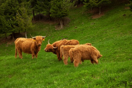 coo: Highland cow in summer mountain meadow Stock Photo