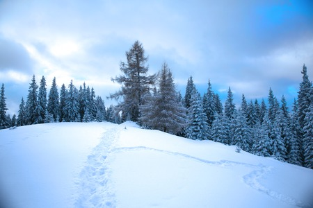 Winter mountain forest. Fir branches covered with snow. Cold toning effect. Stock Photo
