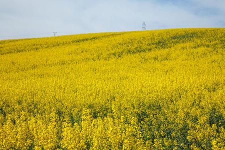 Yellow field rapeseed Reklamní fotografie