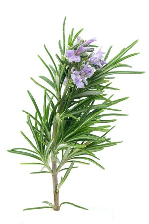 rosemary flower: Branch of blossoming rosemary isolated on white Stock Photo