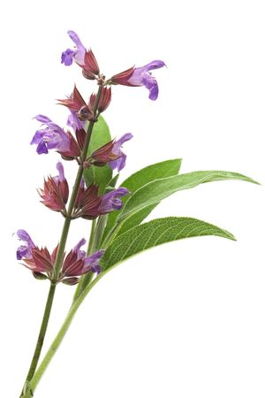 white salvia: Sage flowers and leafs isolated on white Stock Photo