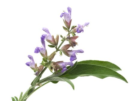 white salvia: Sage (lat. Salvia officinalis) flower and leafs isolated on white Stock Photo