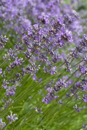 lavandula: Blossoming lavender (lat. Lavandula officinalis) field