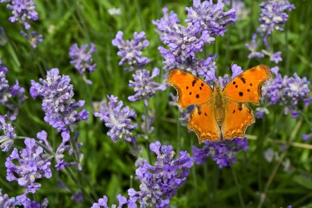 lavandula: Orange butterfly sitting on lavender (lat. Lavandula officinalis) flower