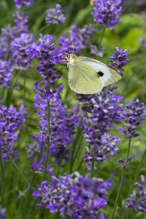 lavanda: White butterfly on blossoming lavender (lat. Lavandula officinalis) flower