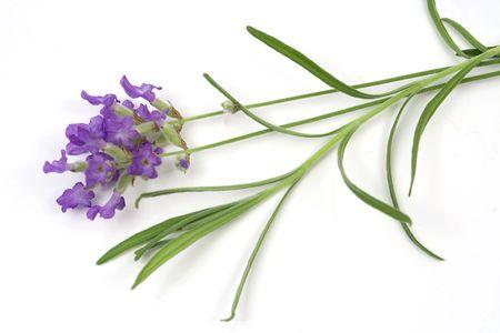lavandula: Lavender (lat. Lavandula officinalis) isolated on white
