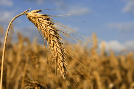 Wheat-rye-barley hybrid crop ready for harvest