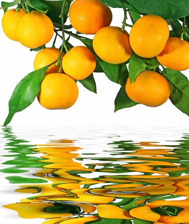 citruses: Tangerines on a tree with reflection in water