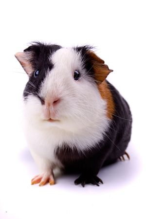 Guinea pig, pet animal isolated on white photo