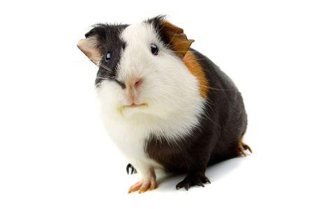 świnka morska: Świnka morska pojedyncze zwierzę domowe na białym tle