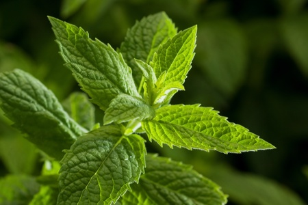 mint leaves: Close up image of fresh mint leaves, selective focus