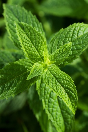Mentha piperita, mint leaves close up image
