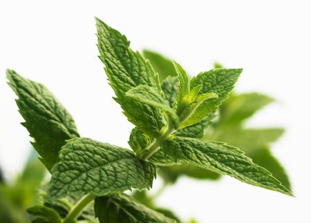Mentha piperita, mint leaves over white background,not isolated Imagens