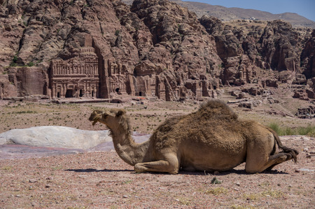 Camel on the hill, with Royal tombs on background. Petra, Jordan