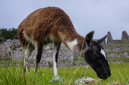 Alpaca ( lama ) in  Machu Picchu, Peru,  . One of the New Seven Wonders of the World