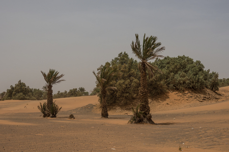 Palm trees and dune in Merzouga village near sahara Erg Chebbi  dune in sand storm. Morocco Stock Photo