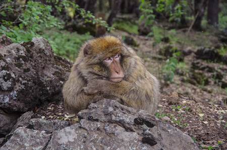 Barbary Macaque in the mountains of Morocco  in North Africa.