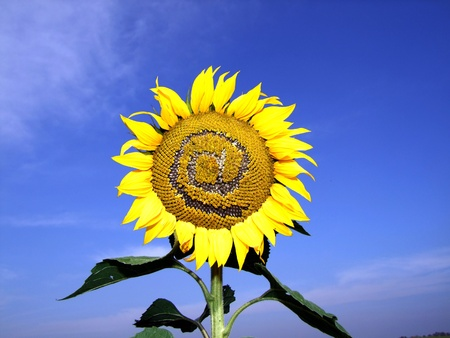 sunflower AT photo