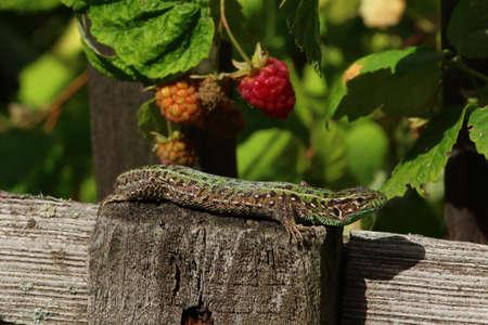 herpetology: Green lizard hunting on hot summer