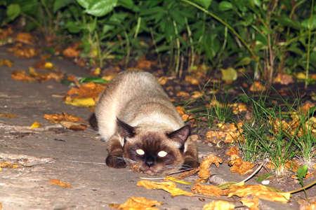 balinese: Balinese cat. Hide