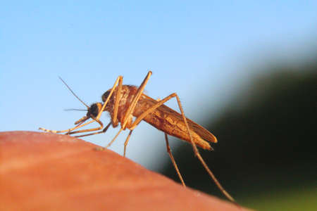 gnat: Mosquito drink blood Stock Photo