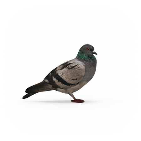 Pigeon side view isolated 3d rendering on white background