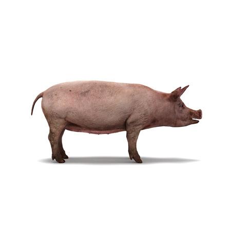 白い背景の上豚分離 3 d レンダリング 写真素材