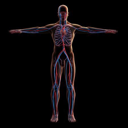 Digital model of veins system, 3d rendering, black background