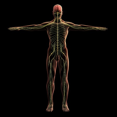 Digital model of nervous system, 3d rendering, black background Standard-Bild