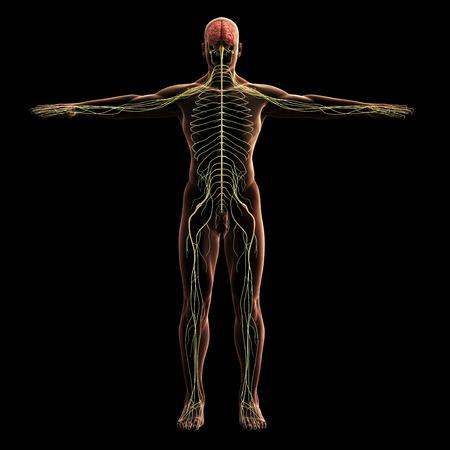 Digital model of nervous system, 3d rendering, black background Foto de archivo