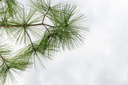 Needles on a branch of a green coniferous tree, on a white background Фото со стока
