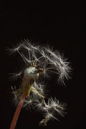 darck: A Dandelion looses some seeds in the breeze on darck backgroung