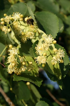 blossom lime-tree and bee Stock Photo