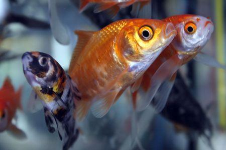 tetra fish: gold fish