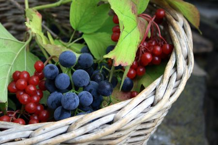 guelderrose: Grapes and  guelder-rose in the basket
