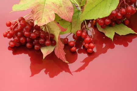 guelderrose: guelder-rose branch with berries on red background