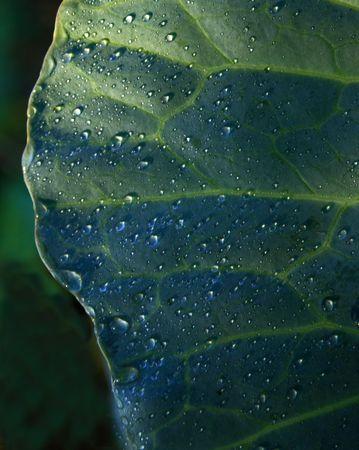 Dew drops on cabbage leaf