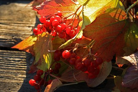 guelderrose: guelder-rose branch with berries on wooden weathering table