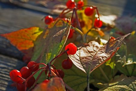 guelder-rose branch with berries on wooden weathering table