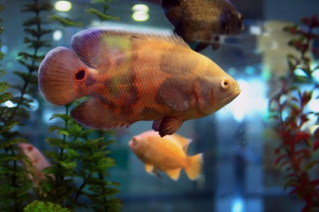 Tropical fishes in the aqurium Stock Photo - 4422625