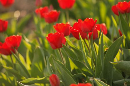 red tulips in a garden photo